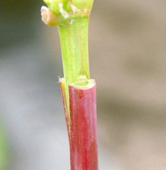 Фото - Щеплення винограду - навіщо потрібна і як її зробити?