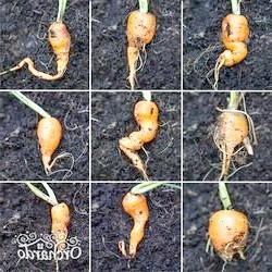 Фото - Рогата, волохата, кострубата морква - чому морквина виростає потворною