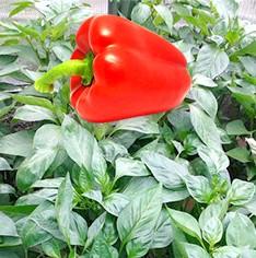 Фото - Секрети вирощування солодкого перцю, формировка