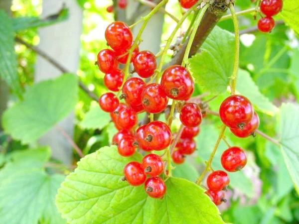 Фото - Смородина червона і біла: особливості вирощування та догляду, сорти