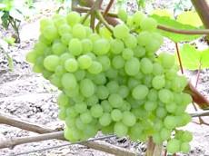 Фото - Сорт винограду