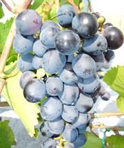 Фото - Сорти винограду