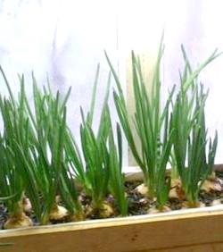 Фото - Свіжий зелений лук на вашому вікні - як виростити цибулю в домашніх умовах