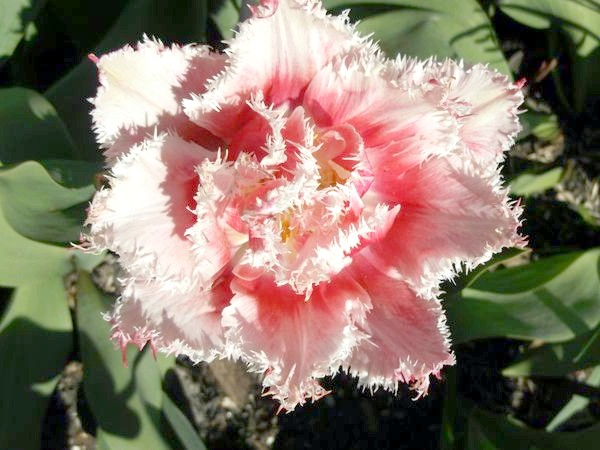 Фото - Тюльпани бувають різні - жовті, білі, червоні