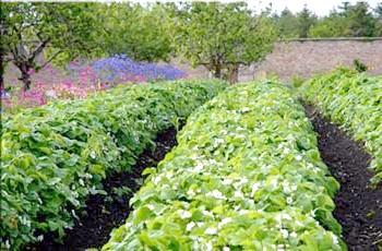 вузькі грядки в органічному землеробстві
