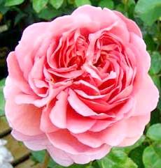 Фото - Види і сорти троянди