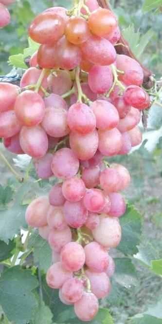 Фото - Виноград ювілей херсонського дачника