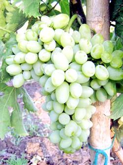 Фото - Виноград захват овальний