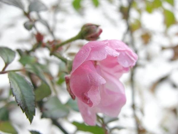 Грунтопокривна троянда