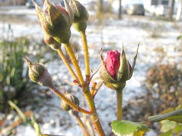 Замерзлі бутони троянд