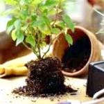 Фото - Час пересадки кімнатних рослин