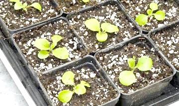 як виростити розсаду петунії з насіння