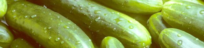 Фото - Посадка огірків у теплиці і у відкритому грунті або всі секрети багатого врожаю!