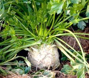 Фото - Вирощування кореневої селери. сорту і особливості
