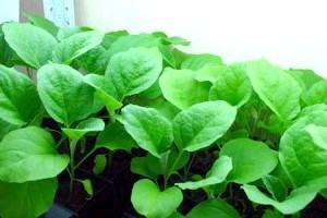Фото - Вирощування розсади баклажанів