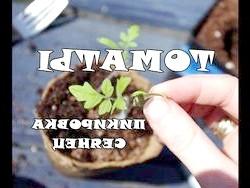 Фото - Вирощування розсади помідорів на підвіконні: як домогтися відмінного результату?