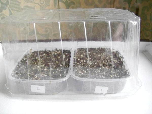 Лотки з посіяним насінням ківі